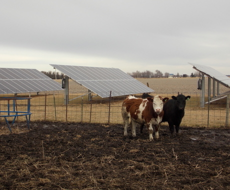 Cows and solar panels