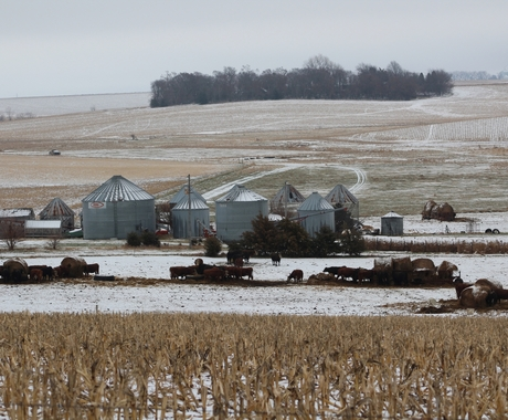 Wintery farm place with cows and grain bins