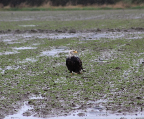 Bald eagle in flooded field