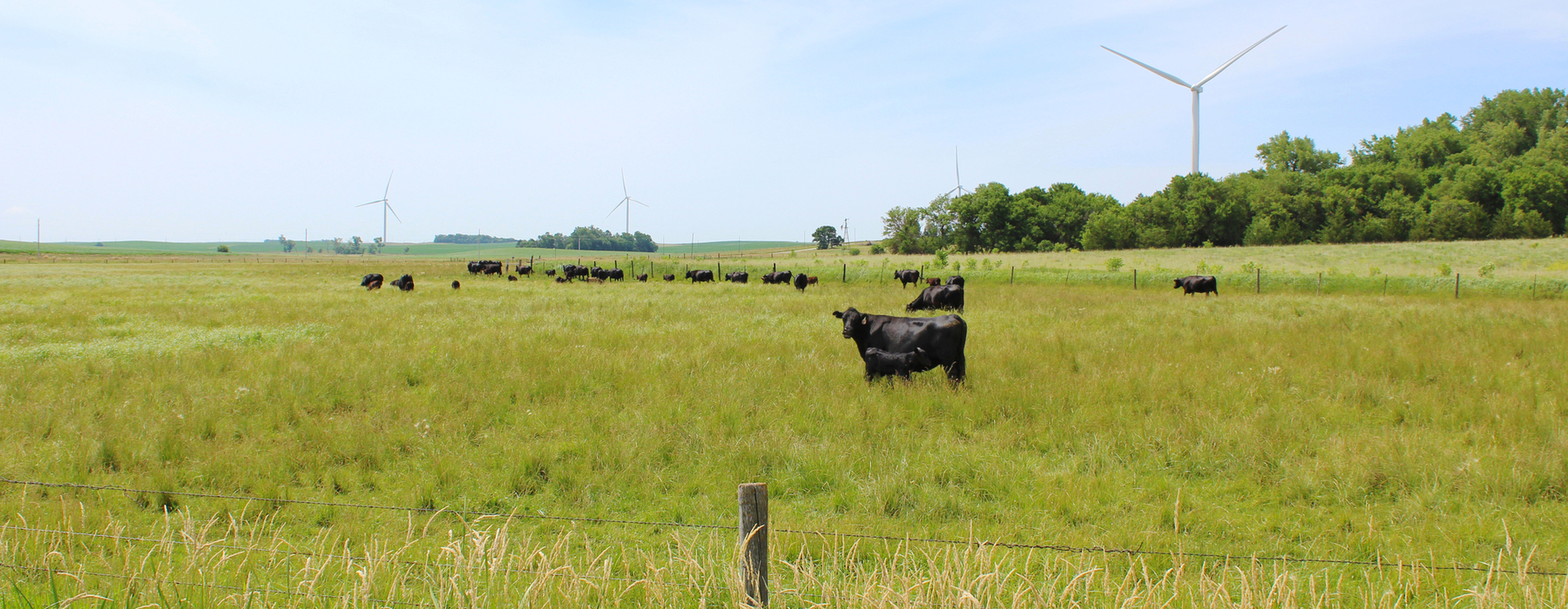 Cows in pasture with wind turbines behind